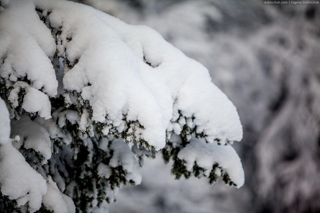 Ветки ели в снегу