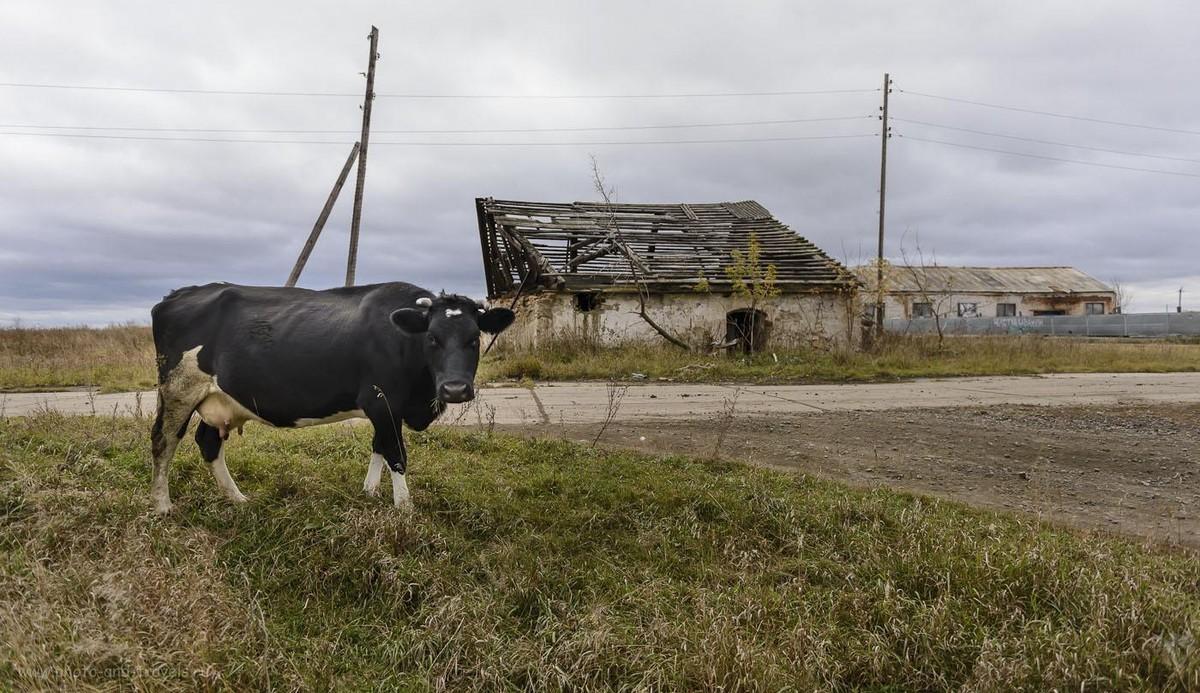 Фото 17. Все же, я нашел в деревне Красный Партизан тёлку для фотосессии. 1/1000, 2.8, 500, 24