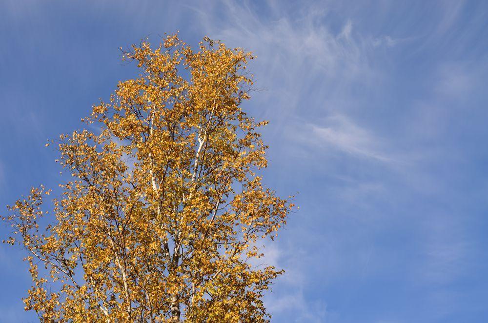 Осенняя, береза в облаках