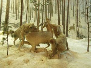 Нападение волков на косулю