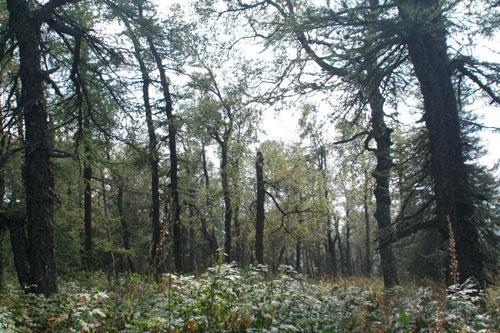Лес в национальном парке Зюраткуль
