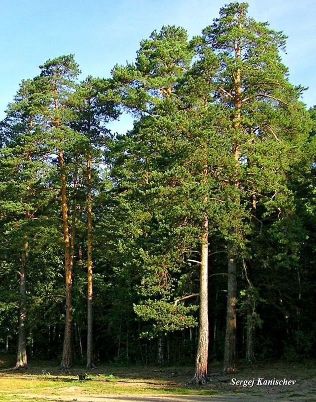 Сосновый лес на Увильдах.