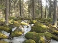 Природный парк «Иремель». Лес на Иремеле.