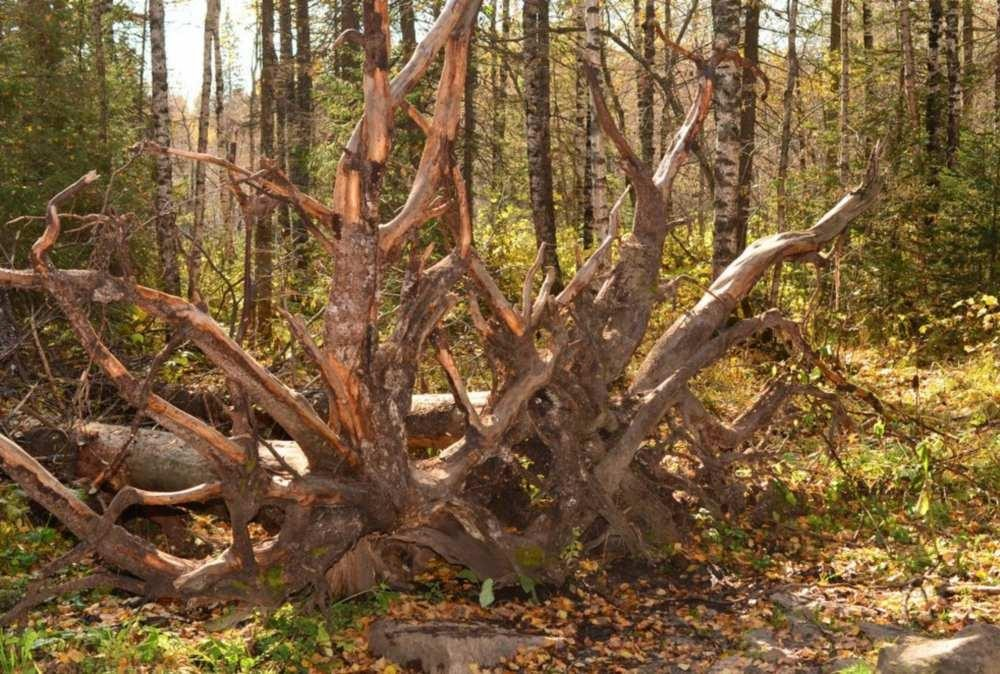 Вырванное с корнем дерево