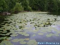 Озеро Теренкуль. Заросли кувшинки. Автор: Костенко О.